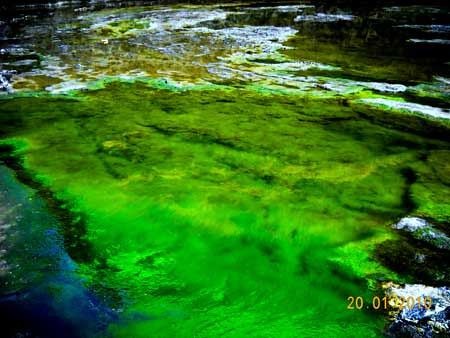 algae in a pond