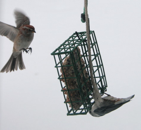 American Tree Sparrow and White-breasted Nuthatch at suet
