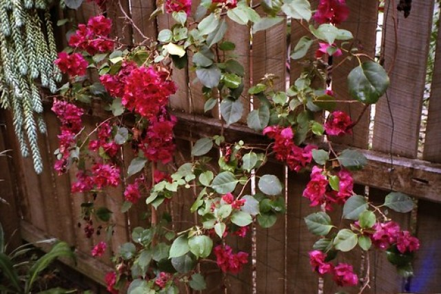 Fenced flowers