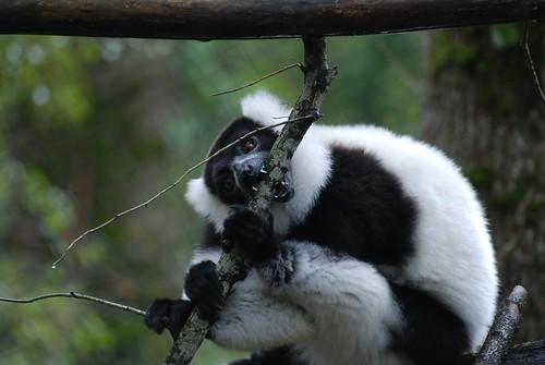 Schwarzweißer Vari in der Réserve Zoologique de Calviac