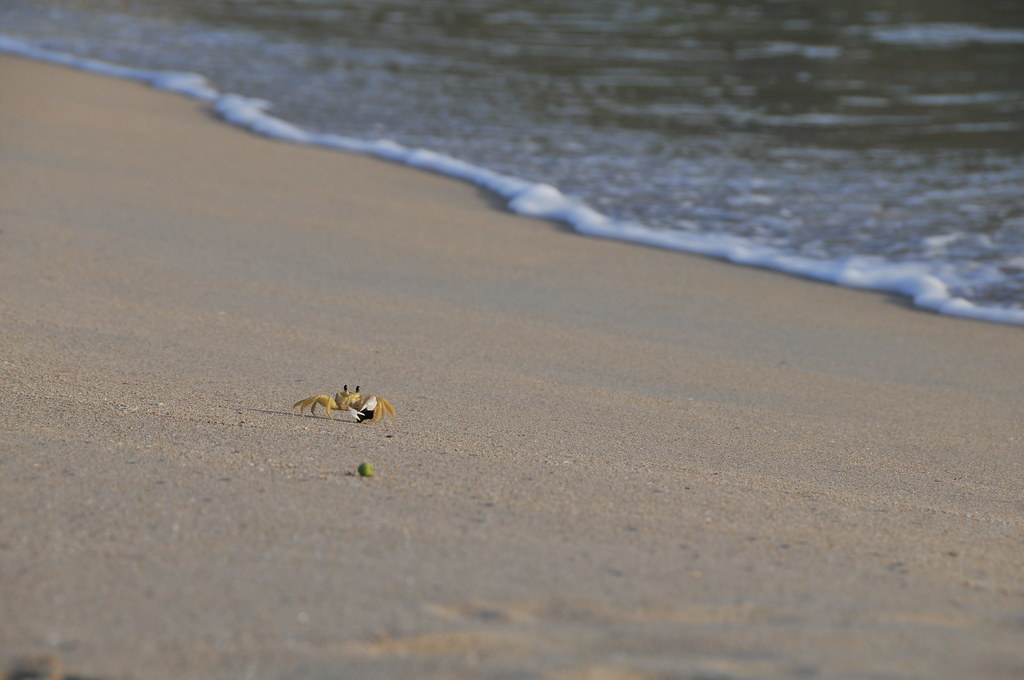 Beach Crab looking for food