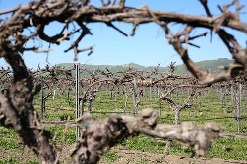 Vines Riverbench Vineyard
