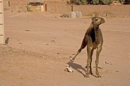 Camel (IMG_1222)