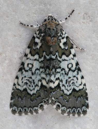9061 - Cerma cora - Owl-eyed Bird Dropping Moth (2)