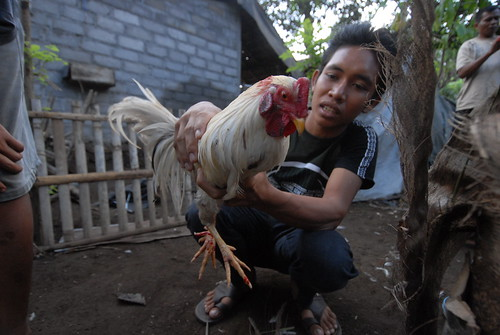 A chance encounter led to an invitation to witness a Balinese cockfight near Amed.