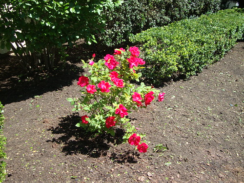 """Knock Out"" Shrub Rose"