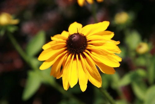365-163 black eyed susan