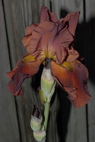 Rust Coloured Iris