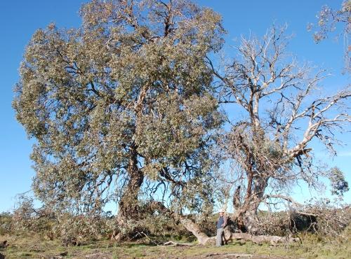 Eucalyptus gunnii subsp. divaricata (Miena Cider Gum)