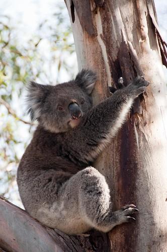 Koala bear in the wild