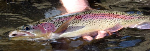 Willamette River Wild Rainbow, cropped