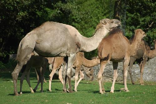 Dromedare im Zoo Parc de Beauval