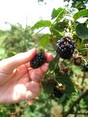 Berry Pickin': Sweet Berry Farms