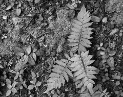 Leaves and Ferns.