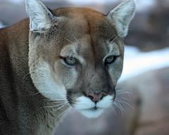 Zeus cougar by nhpanda