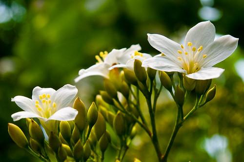 Tung Blossoms