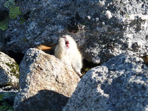 Lemming des toundras de Norvège