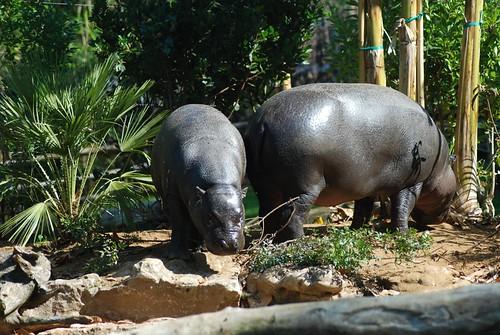 Zwergflusspferde im Zoo Parc de Beauval