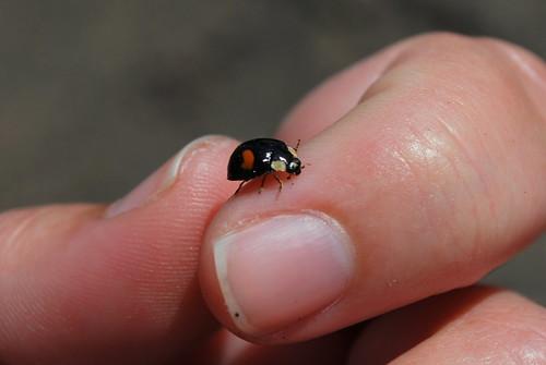 black ladybug face