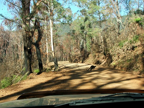 A Wallaby Runs Across the Road