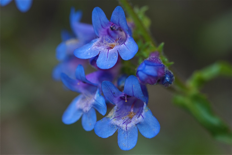 Small-Flowered Penstemon