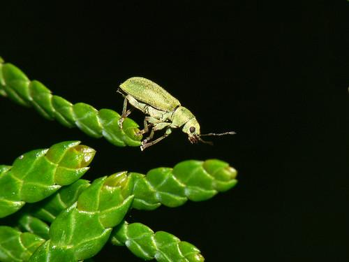 Green weevil (Pachyrhinus lethierrei)