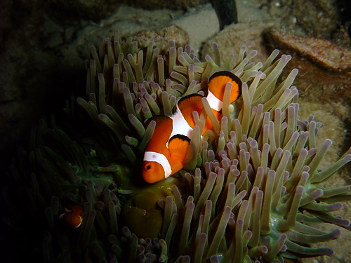 false clownfish open - night