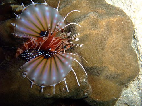 twinspot lionfish - night