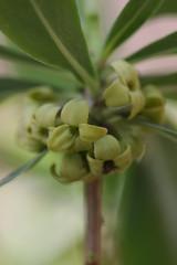 新治市民の森のオニシバリ(Daphne pseudo-mezereum at Niiharu civic forest, Japan)
