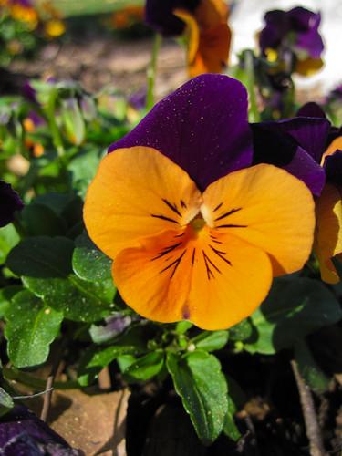 Project 365 #46: Mardi Gras flower