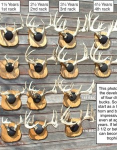 Img also average amount of antler growth after years age page rh archerytalk