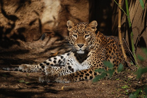 Scri-Lanka-Leopard im Zoo de Doué-la-Fontaine