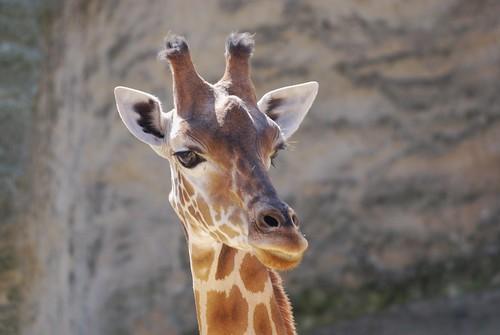 Westafrikanische Giraffe im Zoo de Doué-la-Fontaine