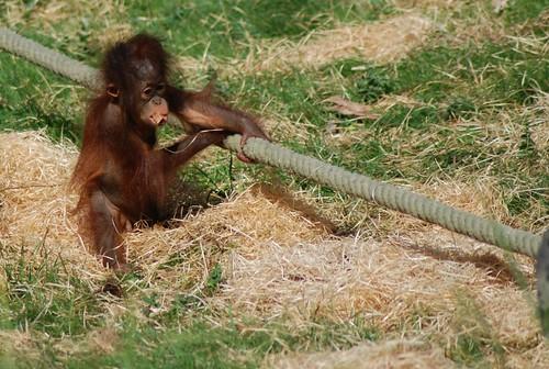 Orang-Utan Dayak im Zoo Parc de Beauval