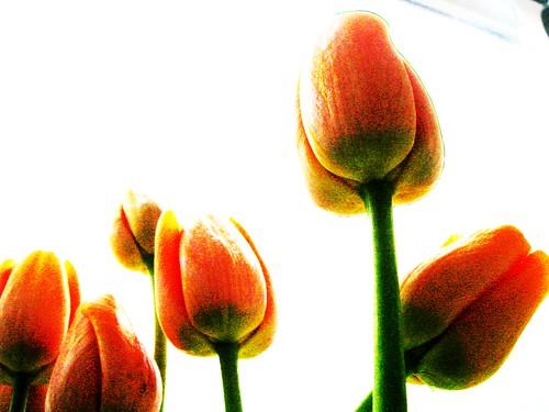 Tulip Burnout
