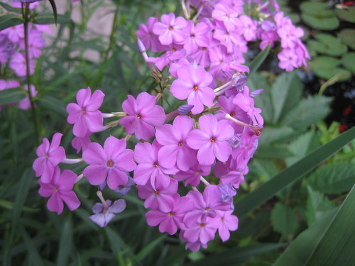 Marsh phlox close-up