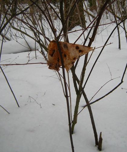 Welkes Ahornblatt im Winter