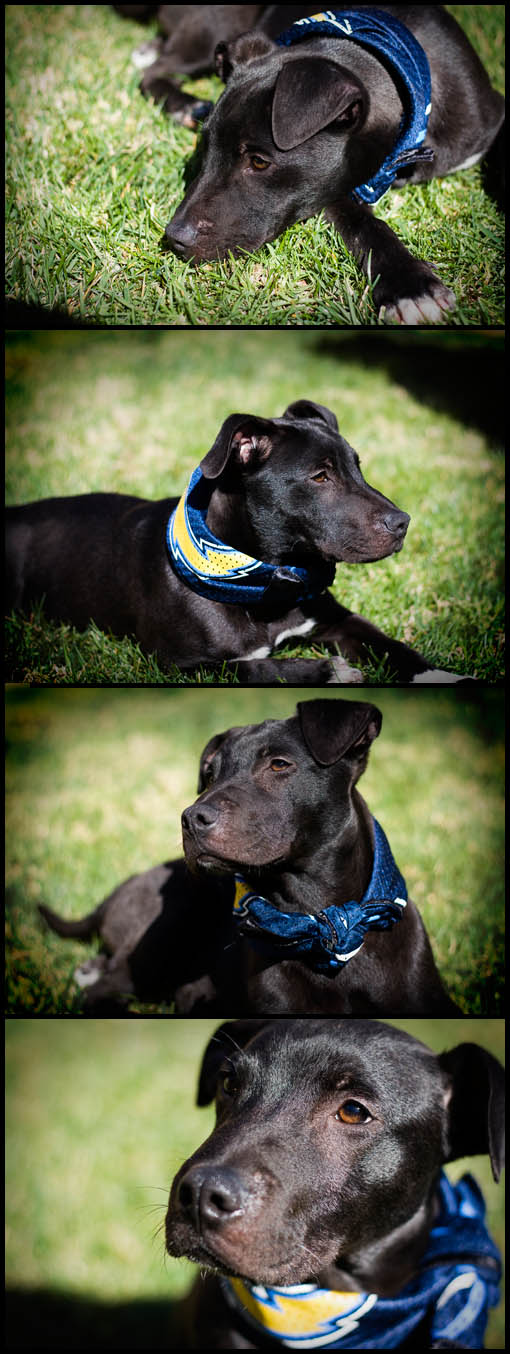 A series of photographs or our family dog - he is part pit bull and part lab