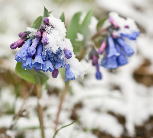Spring wildflowers in an April snow