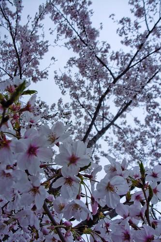 sakura close up