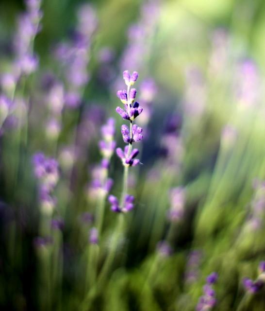 Lavender bokeh