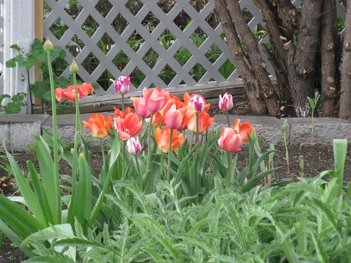 Tulips in a neighbourhood yard. Colourful bits of awesome.