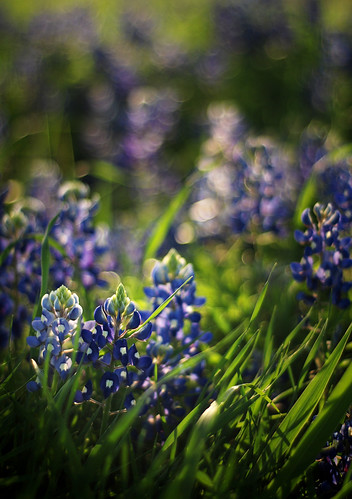 bluebonnet goodness  :) by you.