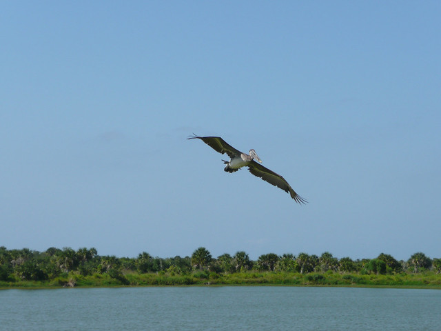 Brown Pelican above Vero Beach