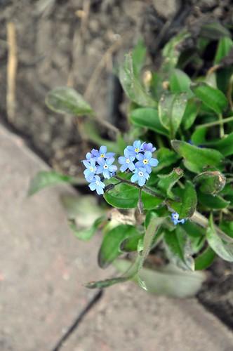 Einer der Bodendecker beginnt zu bluehen