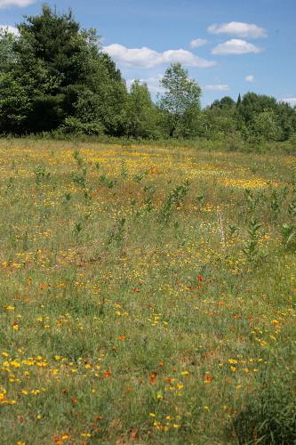 Hawkweed blooming in the meadow