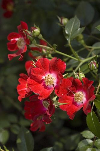 NOID Red Rose