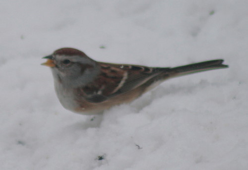 New Year's American Tree Sparrow