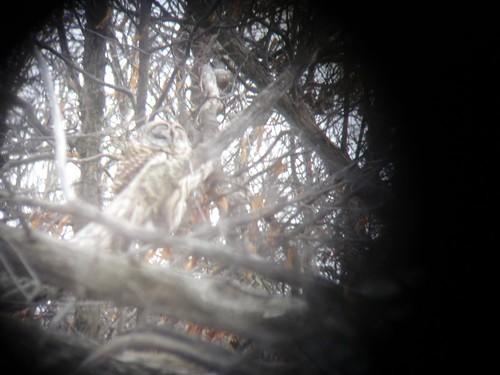 Barred Owl, Digiscoped