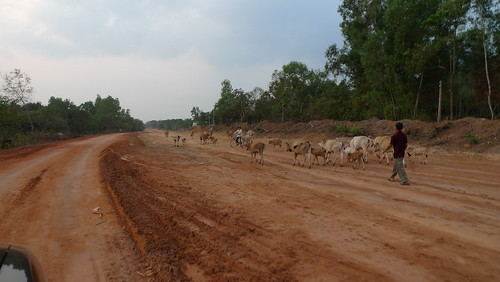 cattle in rural phu quoc